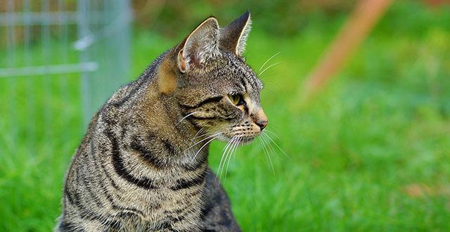 Gatto tigrato su prato