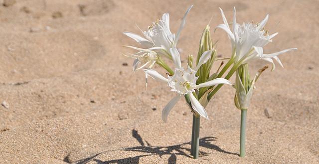 Fiori bianchi che spuntano dalla sabbia - gigli di mare