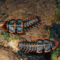 Il misterioso scarabeo trilobite