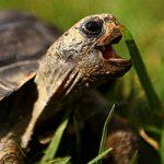 Tartaruga che mangia erba - etologo naturalista
