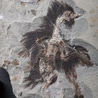 L'uccello fossilizzato con le sue piume