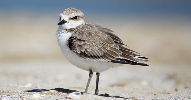 Uccellino sulla spiaggia - fratino